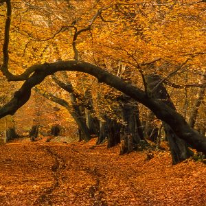 Ashridge Park, Hertfordshire, UK   The ancient woodlands in Ashridge Park offer spectacular walks on a November  afternoon when the low sun lights up the golden hues of the autumn foliage  The park covers an area of over 2000 hectares (about 5000 acres) and spans the borders of the counties of Buckinghamshire and Hertfordshire. It is located on a chalk ridge of the Chiltern Hills.  Details:  Ashridge offers particularly splendid autumn views of very ancient, pollarded  beech trees in the Frithsden Beeches area. Another great place is 'Lady's Walk' - between Berkhamsted Common and Thunderdell Wood - off the B4506 towards Woodyard Cottages.   Location: The National Trust's Ashridge Park visitors centre is located at Moneybury Hill, Ringshall, Berkhamsted, Hertfordshire, HP4 1LT, England, UK.   UK Map references: OSGB36 SP978125   Links:  More details about  Ashridge Park and Woodlands are available from  the  National Trust  website.    ©  2013 ukgardenphotos